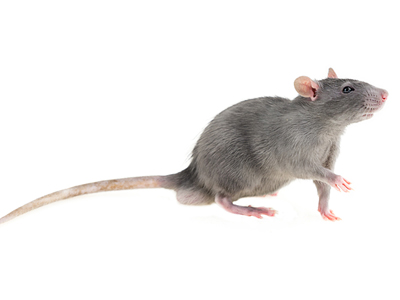 wonderful young timid wary light gray furry rat home pet on white isolated background looks in right frame pulls left front paw greet