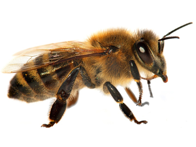 detail of bee or honeybee in Latin Apis Mellifera, european or western honey bee isolated on the white background, golden honeybee